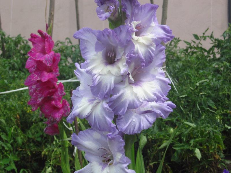 gladiolys